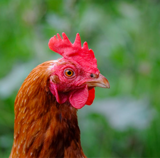 Celebrate the Year of The Rooster with TPM Outdoor!